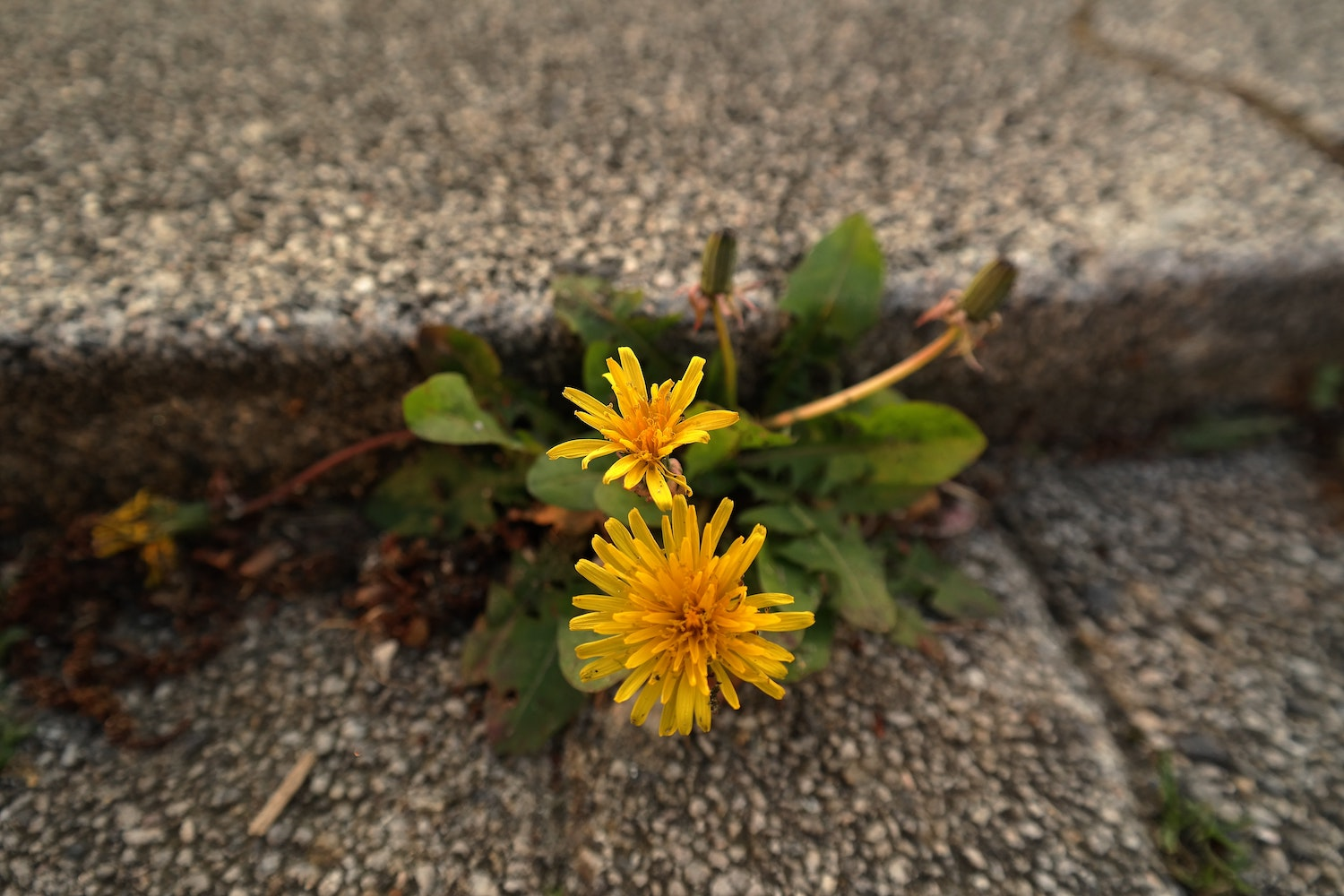 Dandelions grow in a crack in concrete